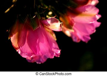 Cactus Flower - Backlit cholla cactus blossoms against a...