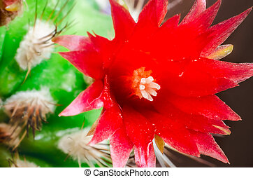 cactus flower - red blooming cactus flower macro