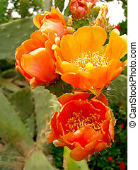 Cactus flowers - several orange flowers on a cactus plant.