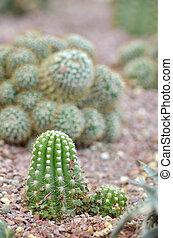 Cactus in a Cactus garden