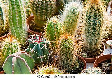 cactus in a garden