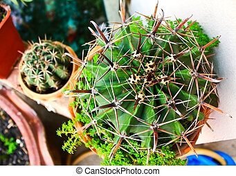 Cactus in a pot top view