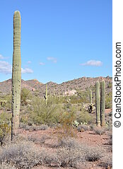Cactus in Arizona