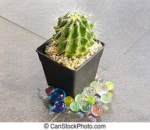 Cactus in black pot