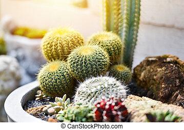 Cactus in home / Little cactus plant in pot decorate garden home - Cereus hexagonus