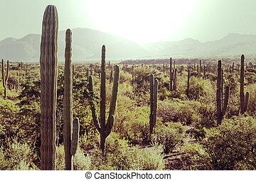 Cactus in Mexico - Cactus fields in Mexico, Baja California