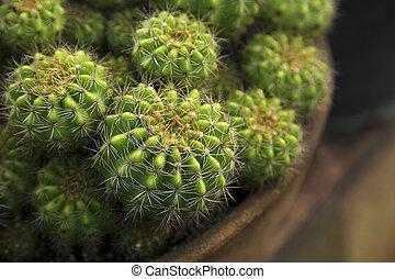 Cactus in pot, Close up