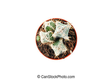 Cactus in pot isolated on white background, top view