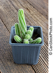 Cactus in pot on wooden background