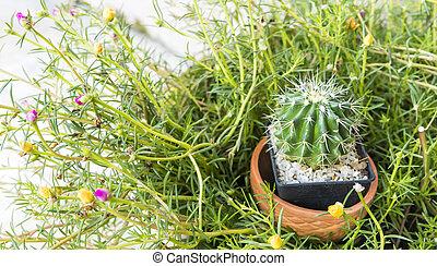 Cactus in red pot
