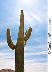 Cactus in the desert of arizona