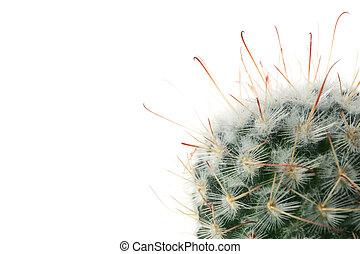 Cactus isolated on white background, close up