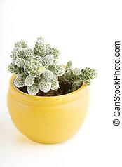 cactus, met, bloem