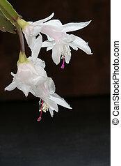 cactus natal, 1