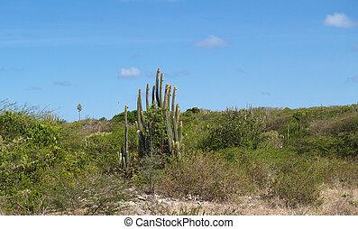Cactus Near Devils Bridge Antigua