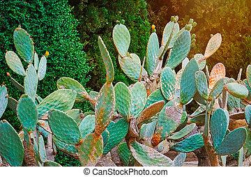 Opuntia Ficus Indica - Cactus Opuntia Ficus Indica -...