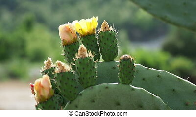 Cactus Opuntia (prickly pear) with edible yellow fruits. Turkey.