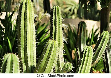 Cactus plant (Carnegiea gigantea) in the garden under blue ...