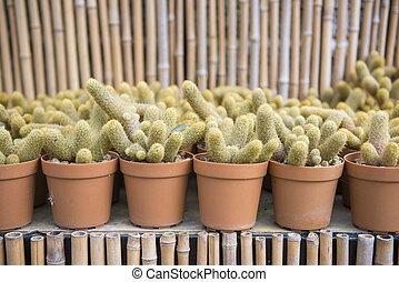 cactus plant for garden decoration