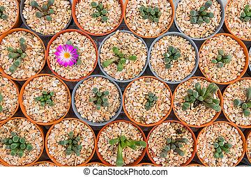 Cactus plant nurseries in farm