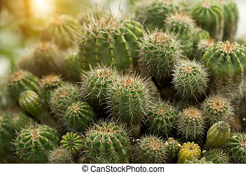 Cactus plant with sunlight.