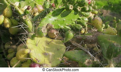 Cactus, prickly pear in web with many shoot-childrens,...