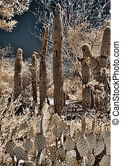 cactus, saguaros