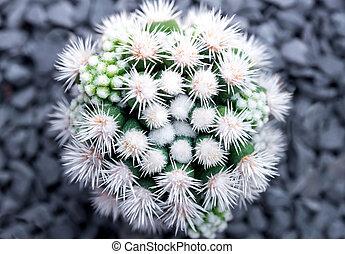 Cactus species Mammillaria vetula gracilis , Arizona Snowcap...