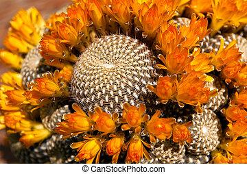 Cactus Spirals - A Rebutia (Sulcorebutia) arenacea cactus in...