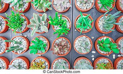 Cactus succulent Plant Potted