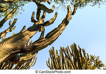 Cactus trees in africa
