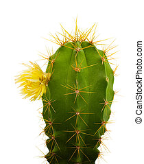 cactus with flowers, isolated on white