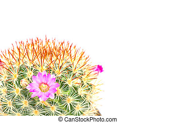 cactus with pink flowers isolated on white background