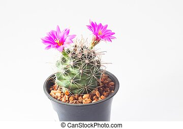Cactus with pink flowers on white background