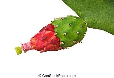 Cactus with red flowers isolated on white background