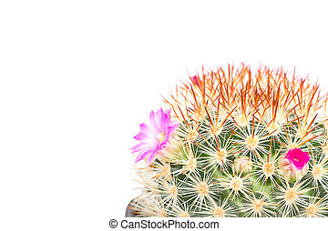 cactus with violet flowers isolated on white background