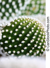 Cactus with white prickles