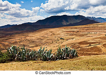 Cactuses and cattle in the mountains