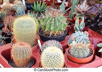 Cactuses pots