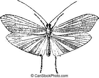 Caddisfly, vintage engraving. - Caddisfly, vintage engraved...