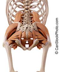 cadera, músculos
