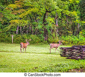 Cades Cove Bucks - A seven and eight point buck graze in...