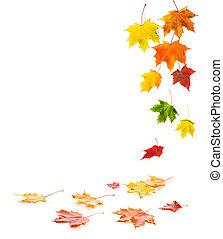 caer, y, acostado, colorido, arce, otoño, leaves.