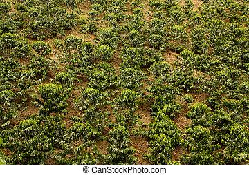 café, fields., colombia