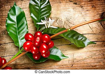 café, plant., rojo, granos de café, en un rama, de, árbol de...