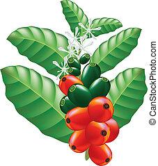 café, vector, illustration., árbol., fruits, flores