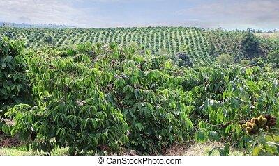 café, vietnam, plantations, oriental