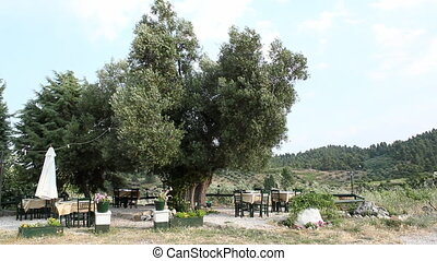 cafe terrace under a old olive tree
