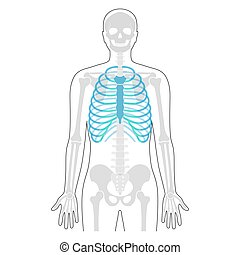 cage, anatomie humaine, côte