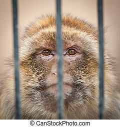 caged - monkey behind bars of a cage in a zoo